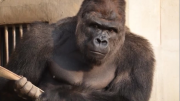 Do You Find This Gorilla 'Hot'?