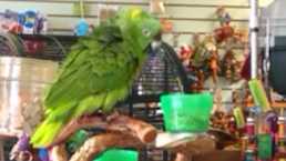 This Parrot Just Won't 'Lego'…